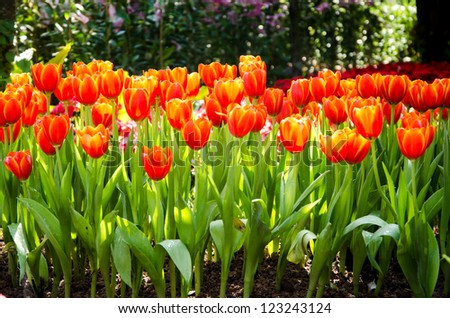 Orange tulip flower in garden