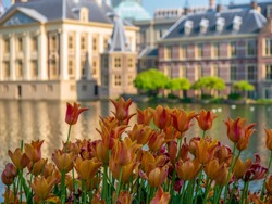 Orange tulips in front of the Dutch parliament. Behind the pond is the Mauritshuis and the office of the prime minister. The Binnenhof is a complex of buildings in the city centre of The Hague.