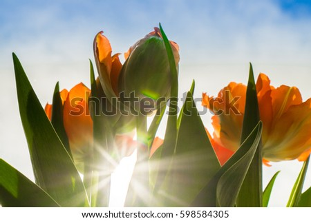 Orange tulips under sunlight at the middle of summer or spring day landscape. Natural view of flower blooming in the garden with green grass as a background.