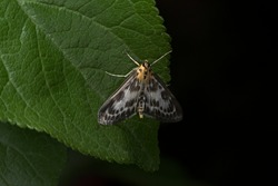 Orange, white and black magpie moth with long antennae perches on a wide dark green leaf against a plain back background. Small moth with black eyes.