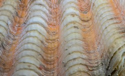 Orange white shell surface. Marine animal fossil closeup photo. Scallop shell surface. Seashell macrophoto. Natural texture for seaside decoration. Mollusk cover close-up. Fossil structure backdrop