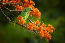 Orange-winged Parrot, Amazona amazonica, green parrot feeding on bright orange flowers of Immortelle tree, Erythrina poeppigiana. Wildlife of Tobago island, Trinidad and Tobago.