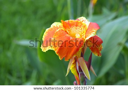 Orange Yellow canna Lily