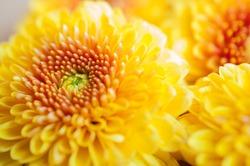 Orange-yellow Chrysanthemum flowers