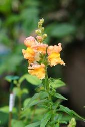 Orange Yellow Flickr Antirrhinum majus