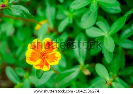 Orange yellow flower name common onpurslane verdolaga pigweed orange yellow flower name common onpurslane verdolaga pigweed little hogweed pusley on green leave background and copy space ez canvas mightylinksfo