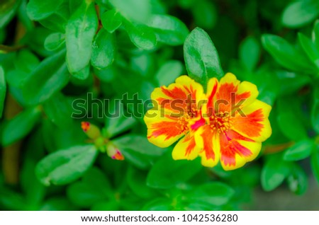 Orange yellow flower name common onpurslane verdolaga pigweed orange yellow flower name common onpurslane verdolaga pigweed little hogweed pusley mightylinksfo