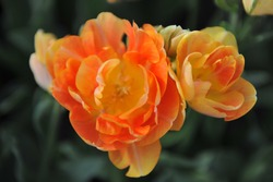 Orange-yellow multi-flowered Double Late tulips (Tulipa) Charming Beauty bloom in a garden in April 2016