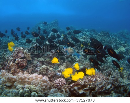 Orangeband Surgeonfish and Yellow Tang swimming on a Hawaiian Reef in Kona