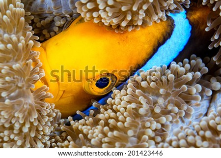 Orangefin anemone fish tucks itself into the carpet anemone for protection