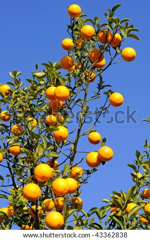 oranges - stock photo