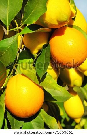 Oranges and lemons on tree.
