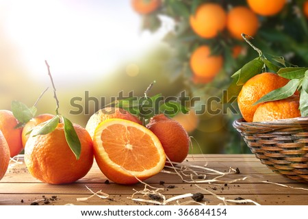 Shutterstock Oranges group freshly picked in a basket and on a brown wooden table in an orange grove. With a tree and garden background with afternoon sun. Horizontal Composition. Front view.