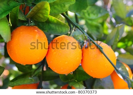 oranges hanging from a branch in Valencia Spain