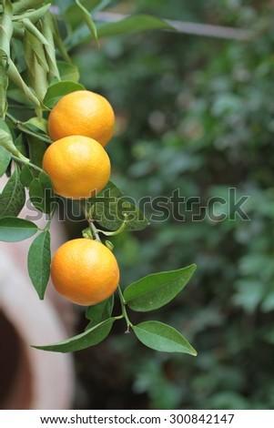 Oranges on a citrus tree close up.