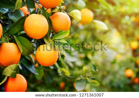 Oranges on the plant before harvesting. #1271361007