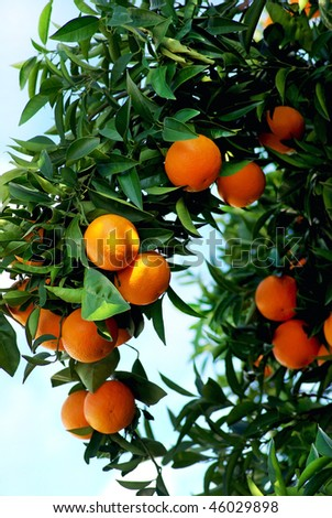 oranges on  tree