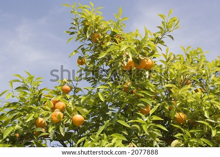 Oranges with green leaves shining in the sun backdropped by a beautiful blue sky. (Turkey)