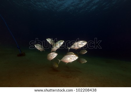 Orangespotted trevally in the Red Sea.