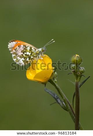 Orangetip Anthocharis cardamines butterfly on a yellow flower