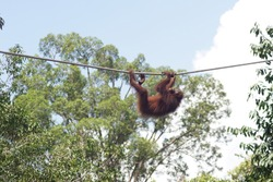Orangutan and its activities such as hanging acrobatically on rope and eating fruits in rainforest in Borneo, specifically in State of Sabah, Malaysia