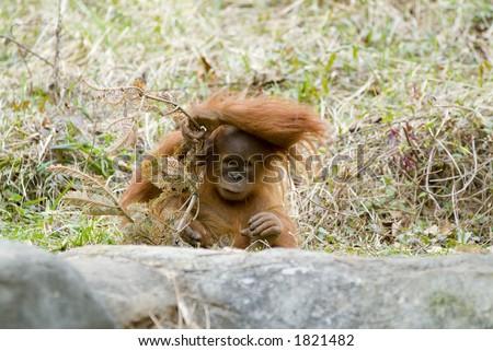 orangutan baby looking like people