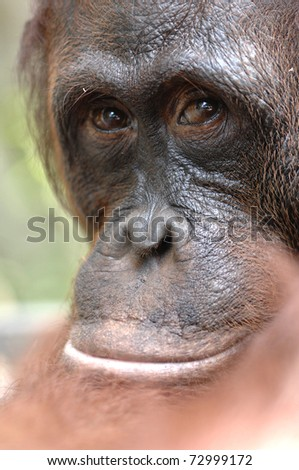 Orangutan Ben. A portrait of the young orangutan on a nickname Ben. Close up at a short distance