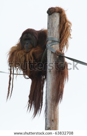 Orangutan climbing a wooden pole close up
