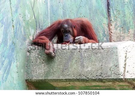 orangutan eating on balcony