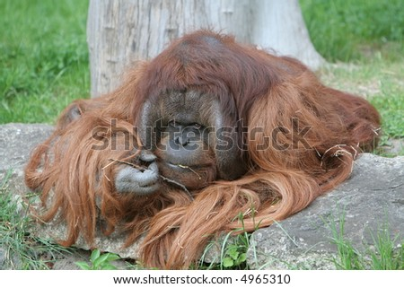 Orangutan eats small branch in Berlin zoo. Very cute ape.
