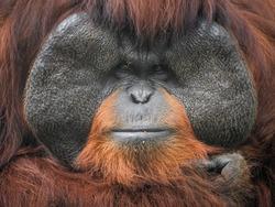 Orangutan face.