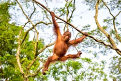 Orangutan giving a free show up in the trees.