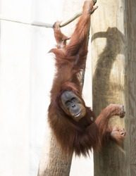 Orangutan hanging from a rope