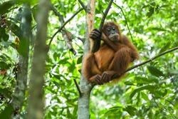 Orangutan in the wild forests of Sumatra