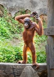 Orangutan in the zoo.
