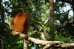 Orangutan is one apes who lives in SouthAsia
