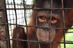 Orangutan, it is in the cage.