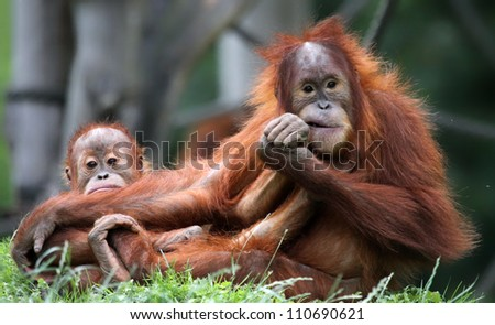 Orangutan - Mother and child