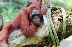 Orangutan on the tree (Pongo pygmaeus)