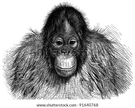 Orangutan (Pithecus Satyrus) - Vintage illustration from Meyers Konversations-Lexikon 1897