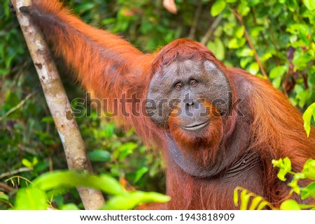 Orangutan  Pongo pygmaeus at Tanjung Puting National Park in Borneo  Indonesia Stock photo ©