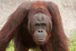 Orangutan (Pongo pygmaeus), Orangutans are currently found only in the rainforests of Borneo and Sumatra.
