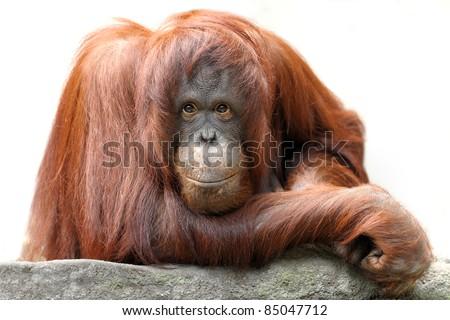Orangutan (Pongo pygmaeus) portrait