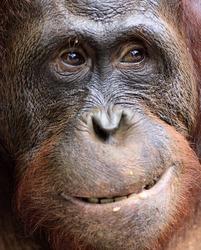 Orangutan Portrait. A portrait of the young orangutan on a nickname Ben. Close up at a short distance. Bornean orangutan (Pongo pygmaeus)  in the wild nature. Island Borneo. Indonesia.