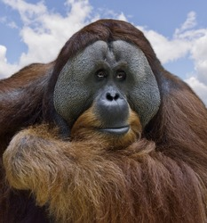 Orangutan Portrait , Close Up Shot