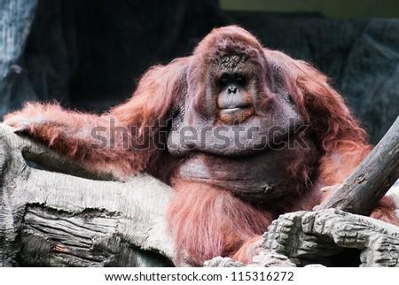 Orangutan Portrait of the adult male of the  the wild nature orangutang hominid sumatra reddish-brown orang utang orang-utan intelligence utan kalimantan chordata indonesia sumatran simian hominidae
