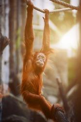 Orangutan. portrait of young monkeys.