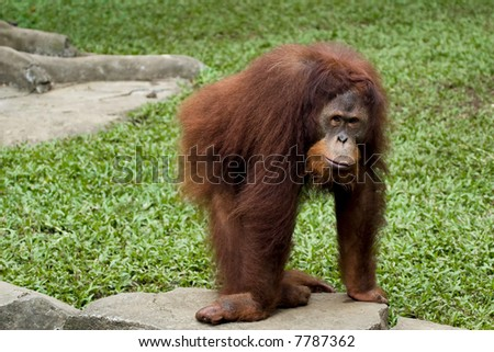 orangutan posing in front of camera