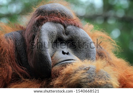 Orangutan sumatera closeup, animal closeup