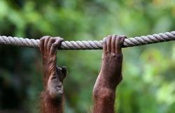 Orangutan swinging on rope, Sepilok Rehab Center, Malaysia